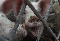 Gridare maiale Fotografia Stock Libera da Diritti