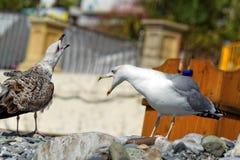 Grido dei gabbiani sulla spiaggia Fotografie Stock