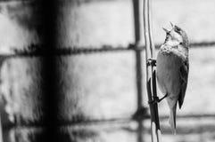 Grido dell'uccello Fotografia Stock