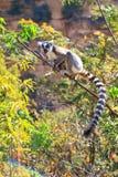 Grido delle lemure Immagine Stock Libera da Diritti
