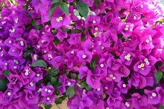 Griechenland-Blumen Stockfotos