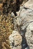 Griechische Eidechse auf einem Felsen Stockbild
