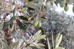 Griechische Oliven. Stockfoto