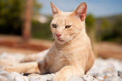 Griechische rote Katze Lizenzfreie Stockbilder
