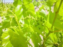 Griechische Trauben der Traubenbäume für Wein lizenzfreie stockfotografie