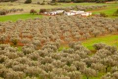 Griechischer olivgrüner Obstgarten-Bauernhof Stockfotografie