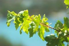 Griekenland, het eiland van Ios Viny bladeren stock foto