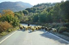 Griekenland, Kreta, sheeps Stock Fotografie
