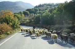Griekenland, Kreta, sheeps Stock Afbeeldingen
