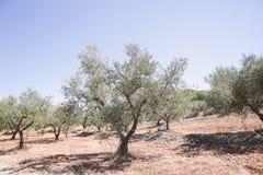 Griekenland Olive Trees Royalty-vrije Stock Fotografie