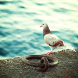 Griekse duif op de promenade in Kreta Royalty-vrije Stock Foto's