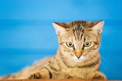 Griekse kat Stock Afbeelding