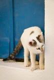 Griekse kat Stock Fotografie
