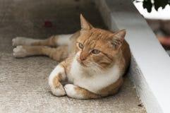 Griekse kat Stock Afbeeldingen