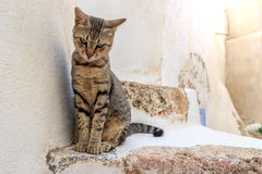 Griekse kat Stock Foto's