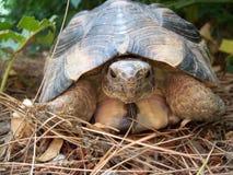 Griekse schildpad Royalty-vrije Stock Foto's