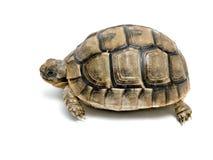 Griekse schildpad Royalty-vrije Stock Fotografie