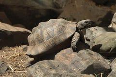 Griekse schildpad (Testudo-graeca) Stock Afbeeldingen
