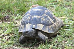 Griekse schildpad/Testudo graecaibera royalty-vrije stock foto