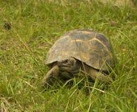 Griekse schildpad/Testudo graecaibera stock foto's