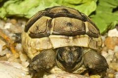 Griekse schildpad/Testudo graecaibera stock afbeeldingen