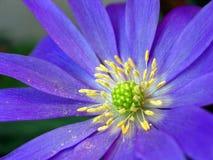 Griekse Windflower (blanda van de Anemoon) Royalty-vrije Stock Foto's