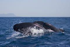 Griend Lång-finned pilot Whale, Globicephalamelas arkivfoton