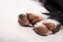 Grietas de la pata del perro fotografía de archivo