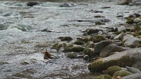 Grietas de un río de la montaña: una corriente turbulenta y rocas del río almacen de metraje de vídeo
