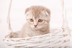 Grieved Cream-colored Scottish kitten looks from wicker basket. Portrait of a cat Royalty Free Stock Photo