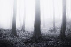 Griezelig surreal nevelig bos met oude reuzebomen stock foto's