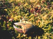 Griffe de crabe Griffe cassée et sèche d'isolement sur la pierre moussue Endroit où les seaguls alimentent leurs crochets image libre de droits