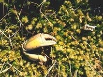 Griffe de crabe Griffe cassée et sèche d'isolement sur la pierre moussue Endroit où les seaguls alimentent leurs crochets image stock