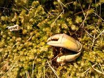 Griffe de crabe Griffe cassée et sèche sur la pierre moussue Endroit où les seaguls alimentent leurs crochets photos libres de droits