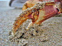 Griffe de crabe en sable Photographie stock