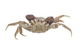 Griffes augmentées par crabes velus d'isolement sur le blanc Images libres de droits