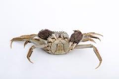 Griffes augmentées par crabes velus sur le blanc Image stock