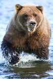 Griffes de Salmon Creek Brown Bear Powerful d'argent de l'Alaska Images stock