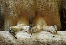 Griffes grandes de hibou à cornes photo libre de droits