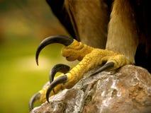 Griffes réelles d'aigle Photographie stock libre de droits