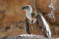 The Griffin Vulture Royalty Free Stock Photos