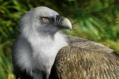 Griffin Vulture Royalty Free Stock Image