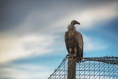 Griffin Vulture (fulvus de Gyps) dans la réservation Madjarovo, Bul de faune Photographie stock libre de droits