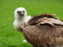 Griffin Vulture - Gyps fulvus Stock Photos