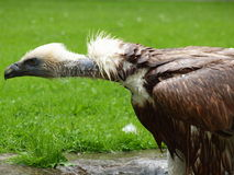 Griffin Vulture - Gyps fulvus Royalty Free Stock Photos
