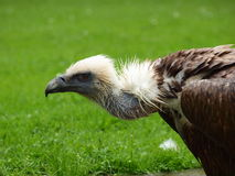 Griffin Vulture - Gyps fulvus Royalty Free Stock Photo