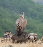 Griffin Vulture (Gyps fulvus) Royalty Free Stock Photography