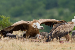 Griffin Vulture (Gyps fulvus) Royalty Free Stock Photos