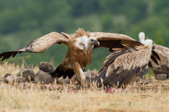 Griffin Vulture (Gyps fulvus) Royalty Free Stock Images