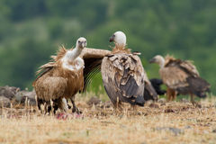 Griffin Vulture (Gyps fulvus) Stock Image